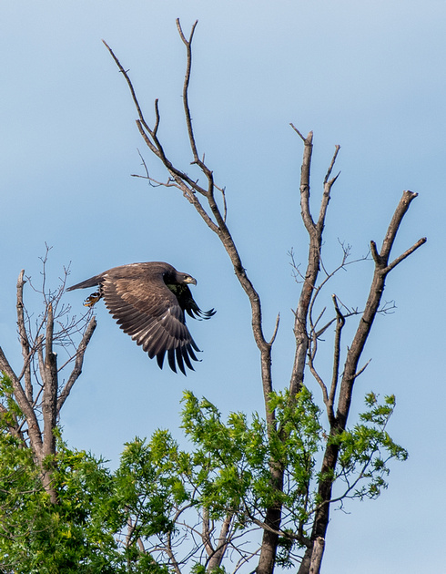 Fledgling bald eagle practicing flying and landing